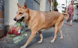 Gặp Gấu - chú chó cá tính nhất Sài Gòn: Chủ mua gì cũng xung phong xách hộ, không cho theo thì hờn mát bỏ ăn!