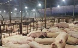 Gần 5.000 con lợn bị tiêm thuốc an thần ngủ li bì trước khi giết mổ
