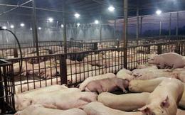 5.000 con lợn bị tiêm thuốc an thần: Vụ việc này là 1 tội ác