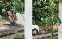 Bão gió đùng đoàng, người phụ nữ vẫn lao ra vườn, oằn mình ôm cây đu đủ và cái kết bất ngờ