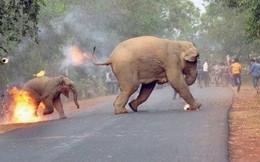 """Thấy điều gì qua bức ảnh 2 con voi cố trốn thoát """"ngọn lửa thù hận?"""""""