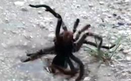 Ong hạ gục nhện khổng lồ với 1 phát chích