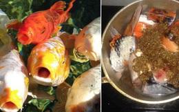 Cá Koi của Nhật Bản có thể đắt tiền đến mức nào?