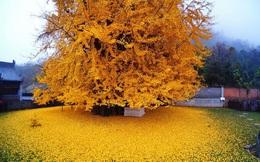 """Lý do gì khiến 700.000 người đến thăm cây """"vàng"""" mỗi ngày ở Trung Quốc?"""