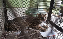 Giải cứu một cá thể mèo rừng quý hiếm thả về thiên nhiên