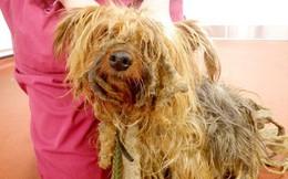 Chú chó không được xén lông suốt 13 năm, người chủ bị phạt cả đời không được nuôi động vật