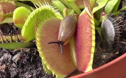 """Trông đẹp long lanh là thế nhưng ai ngờ những loài thực vật này là """"kẻ ăn thịt"""" chính hiệu"""
