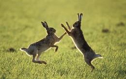 Những con thỏ thực sự điên rồ vào tháng 3?
