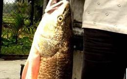 """Bình Định: Bắt được """"cá lạ"""" 5kg nghi cá sủ vàng"""
