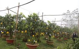 Lão nông thu về hàng trăm triệu nhờ ghép 10 loại quả trên cùng một cây cảnh ở Hà Nội