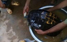 """Người dân phát hiện rùa """"khủng"""" vân vàng 16kg bò từ ruộng lên"""