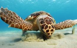 """Biến đổi khí hậu khiến rùa biển đối mặt với nguy cơ """"chênh lệch giới tính"""""""
