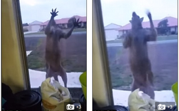 Clip: Kangaroo tìm cách phá vỡ cửa sổ để vào trong khiến chủ nhà hoảng sợ