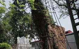 Cây sưa đỏ trăm tỷ ở Hà Nội: Vỏ ngoài sẽ bị cấu nát thành mùn, bán càng sớm càng tốt
