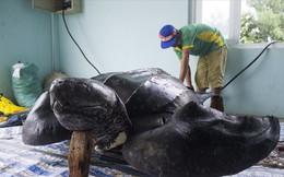 Phục dựng tiêu bản rùa quý trên đảo Lý Sơn