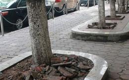 Ba cây gỗ sưa 20 năm tuổi suýt bị đốn hạ