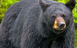 Tai nạn hy hữu: Gấu bị bắn rơi xuống núi, đè trúng người thợ săn