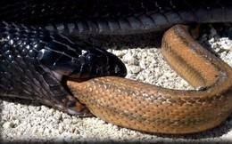 Những sự thật kỳ lạ về loài rắn chắn chắc sẽ khiến bạn bất ngờ
