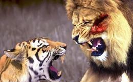 Những trận đấu 'lịch sử' giữa sư tử và hổ