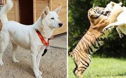 7 giống chó quý hiếm nhưng ít người biết đến, có cả quốc khuyển Triều Tiên dữ như cọp