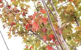 Loạt cây phong Hà Nội lá chớm đỏ đã tàn?