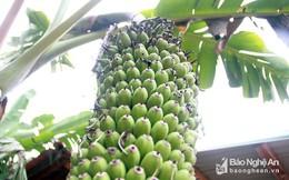 Độc đáo buồng chuối gần 2.000 quả