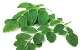 Những công dụng không ngờ của chùm ngây - loại rau rất được ưa chuộng ở Việt Nam