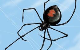 Kỳ lạ loài nhện 'góa phụ đen' có sợi tơ cứng như 'thép'