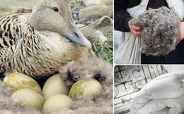 Bạn có tin một chiếc chăn làm bằng lông vịt mà có giá lên đến 350 triệu đồng?