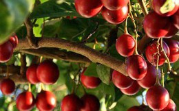 Thực hư về loại cà chua có giá cả triệu đồng/kg?