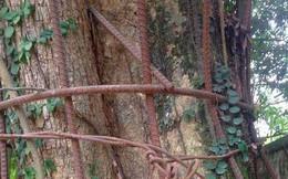 Ly kỳ chuyện cây sưa giá trăm tỷ ở Hà Nội, người dân mất ăn mất ngủ thay nhau canh giữ, mặc áo giáp sắt để chống kẻ trộm