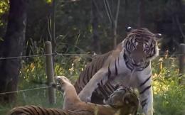 Những màn đánh nhau cực 'đỉnh' của con hổ bị nhốt trong sở thú