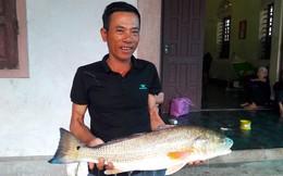Hơn 1 giờ vật lộn, ngư dân câu được con cá vàng óng, nghi sủ vàng quý hiếm