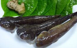 Món ăn thuốc từ cá bớp kiện tỳ ích khí, bổ can thận