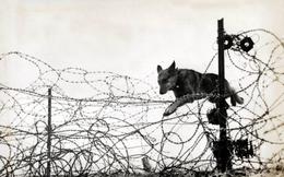 Ảnh: Những chiến khuyển anh hùng trong Thế chiến I