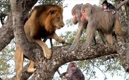 Clip: Sư tử so tài leo cây với khỉ và cái kết 'đau lòng'
