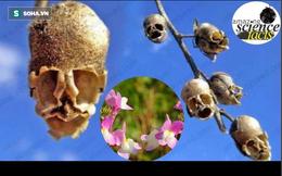 Sự thật kinh ngạc về thực vật: Loài hoa kỳ lạ khi héo úa nhìn như đầu lâu