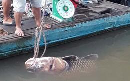 Ngư dân Vĩnh Long bắt được cá hô vàng nặng hơn 125 kg