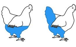 Một con gà mái sẽ mặc quần thế nào? Câu đố logic thách thức ngay cả người thông minh nhất