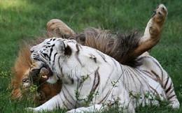 Tình bạn khăng khít giữa sư tử và hổ trắng