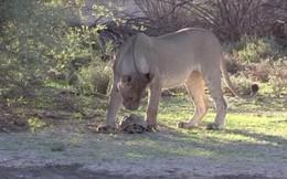Rùa phòng thủ thông minh khiến cặp sư tử lao tới định làm thịt phải ngao ngán bỏ đi