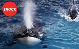 Con cá voi BIẾT NÓI TIẾNG NGƯỜI đầu tiên trong lịch sử nhân loại: Wikie