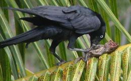 Bức ảnh này chứng minh quạ là loài chim thông minh nhất hành tinh