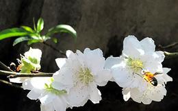 Bất ngờ đào tuyết nở hoa ở Tây Nguyên