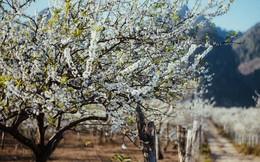 Những ngày cận Tết, hoa mận trắng nở rộ Mộc Châu đẹp đến mê mẩn