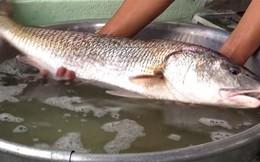 Ngư dân liên tục câu được cá sủ vàng quí hiếm