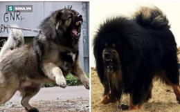 Đây là loài chó hiếm hoi sở hữu lực cắn còn mạnh mẽ hơn cả ngao Tây Tạng