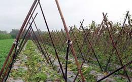 Giá rau rớt thê thảm khiến nông dân điêu đứng