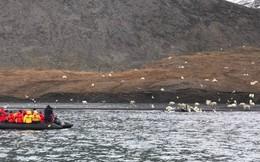 """Hơn 150 con gấu trắng bu kín """"vật nổi"""" ở biển Bắc Cực, du khách bất ngờ khi đến gần"""