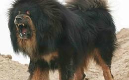"""Bi kịch của Ngao Tây Tạng - từ """"thần khuyển"""" triệu đô thành những con thú bị ruồng bỏ"""
